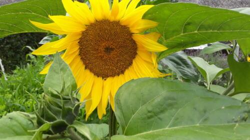 2019-07-18 zonnebloem uit eigen tuin