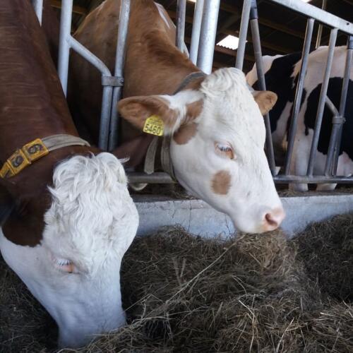 koeien-eten