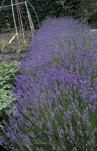 juni-lavendel-haag-tuin