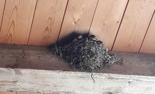 2018 zwaluw nestje